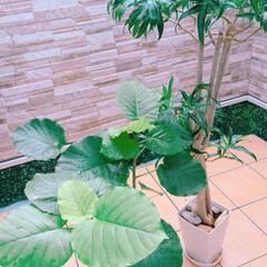 ドラセナ/秋雨前線/ベランダ/ウンベラータ/観葉植物/グリーン/... 雨がしとしと続く日は ベランダへ。 葉水…