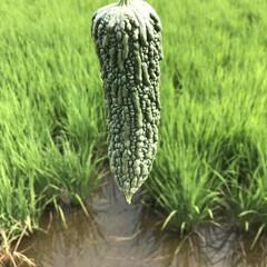 ゴーヤ/お出かけ/収穫/夏/新鮮採れたて野菜/畑/... すっかり夏の暑さが至極当然な毎日となりま…