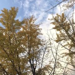 銀杏の木/秋空/散歩/四季 散歩途中見上げた空
