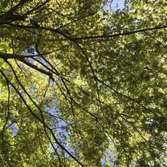 新緑/日常のふとしたこと/散歩/晴天/暮らし 上を見上げれば新緑の紅葉の葉が重なり合っ…