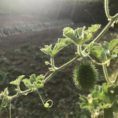 実/植物/収穫/グリーンカーテン/ククミス/キッチン雑貨/... 帰省し早朝から収穫!  実家の父が以前渡…
