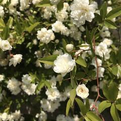 薔薇/お花/日常のふとし/ウォーキング お昼のウォーキング中、小さくて可愛い木香…