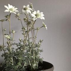 鉢植え/ガーデニング/フランネルフラワー/お花/住まい/暮らし 大好きなフランネルフラワー お花は真白で…