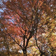 """畑仕事/秋/紅葉/四季/おでかけ/リミアの冬暮らし 今年見納めになるであろう""""秋景色""""  畑…"""