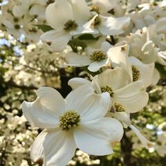 春/季節/ハナミズキ/街路樹/日常のふとしたこと/暮らし お家の近くでも公園でもハナミズキが満開で…