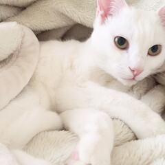 毛布/ねこ/猫/ペット/しろねこ 毛布に紛れて、軽く踏んでしまいました…💦