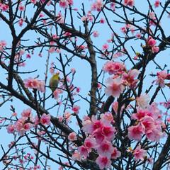 桜/沖縄 紅葉がない沖縄では、さくらのピンクを観る…
