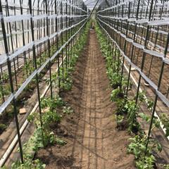 桃太郎/トマト/令和の一枚 今日は450本🍅植えました! 明日も頑張…