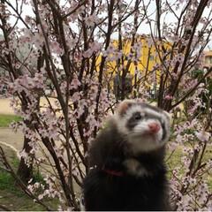 LIMIAペット同好会/うちの子ベストショット/小さい春見つけた お花見🌸