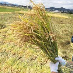 稲刈り/秋/お米/食育/親子/稲/... 10月に子供と一緒に稲刈りを体験。 これ…