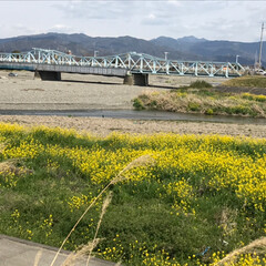いい天気/河川敷/菜の花 河川敷をお散歩 菜の花ももうおわりかなぁー