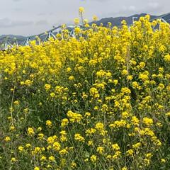 いい天気/河川敷/菜の花 河川敷をお散歩 菜の花ももうおわりかなぁー(2枚目)