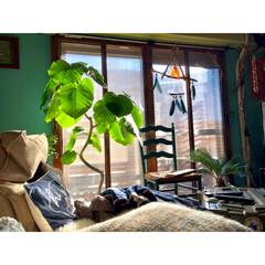 ウンベラータ/グリーンのある暮らし/カフェ風/セルフリフォーム/セルフリノベーション/流木/... あまり変化してなさそーですが 二重窓DI…