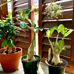 グリーン/観葉植物/ルーバーラティス/ベランダ/マンション/砂漠のバラ/... 我が家に新入りさんが仲間入り ぶっくり太…