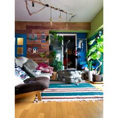 ウンベラータ/防音室/板壁/リクライニングソファ/流木/リビング/... 毎年恒例 窓際にグリーンを並べる為に 秋…