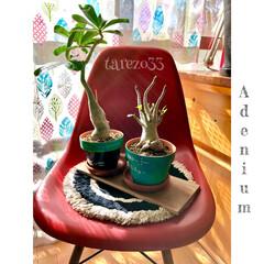 日当たり良好/カーテン/salut/リメイク/素焼き鉢/ダイソー/... 春から育てている アデニウム  一緒のコ…