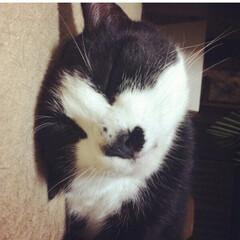 cat/寝顔/秋/ペット/猫 初投稿です! ロイ(  ♂)です。  寝…