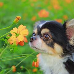 秋/ペット/犬/おでかけ/フォトコンテスト 名前:こはく  花の匂いを嗅いでいるとこ…