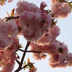 春のフォト投稿キャンペーン 今年も綺麗だった😊🌸(4枚目)