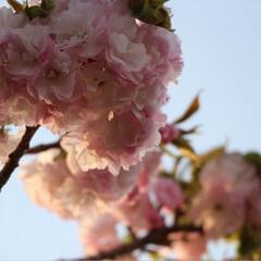 春のフォト投稿キャンペーン 今年も綺麗だった😊🌸(2枚目)