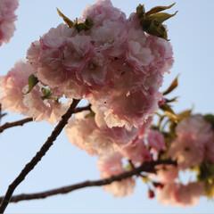 春のフォト投稿キャンペーン 今年も綺麗だった😊🌸(5枚目)