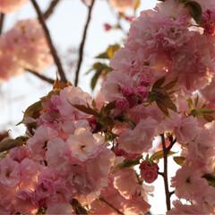 春のフォト投稿キャンペーン 今年も綺麗だった😊🌸(3枚目)