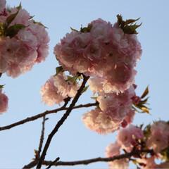 春のフォト投稿キャンペーン 今年も綺麗だった😊🌸(1枚目)