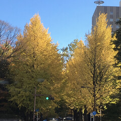 好きな景色/紅葉/秋/通勤途中/朝 毎朝、通勤途中に通る銀杏並木です。この季…