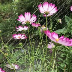 コスモス/秋 旦那の実家に行ったら 池のそばで綺麗に咲…