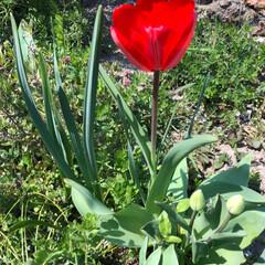 チューリップ 咲いた さいた!