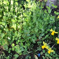スイセン/豆苗 庭のスイセンが咲きました。  そして、 …(2枚目)