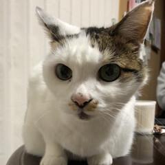 モモ/ペット/猫 実家のニャー モモちゃん