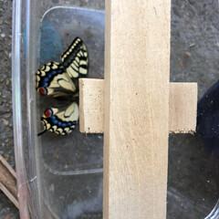 羽化/キアゲハ/春のフォト投稿キャンペーン/春 キアゲハのサナギが、羽化しました。越冬し…(3枚目)