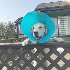 おかえり/大型犬/ラブラドールレトリバー/LIMIAペット同好会/フォロー大歓迎/ペット/... 細長いぬいぐるみをパクリ…と。 緊急摘出…