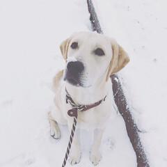 お散歩/雪/ラブラドールレトリバー/2018/フォロー大歓迎/冬/... 雪とROXY ☃️🐶  今年最後の投稿‼︎