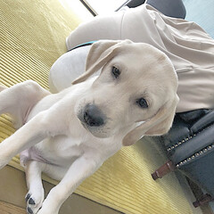 仔犬/大型犬/ラブラドールレトリバー/秋/ペット/犬/... き ょ う も お 眠 か な 。