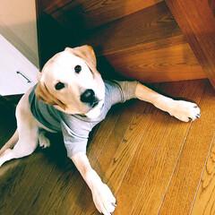 服/大型犬/ラブラドールレトリバー/LIMIAペット同好会/フォロー大歓迎/ペット/... おはようございます( ˘ᵕ˘ )  最近…