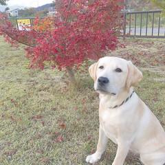 大型犬/ラブラドールレトリバー/フォロー大歓迎/風景/ペット/犬/... 今日は矯正手術( Ö ) 病院でも本当に…