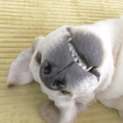 大型犬/変顔/ラブラドールレトリバー/フォロー大歓迎/ペット/ペット仲間募集/... お腹撫でられると嬉しいのに…  どうも表…
