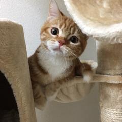 ゆず/2018/フォロー大歓迎/ペット/猫 いつもジィーっと見つめられてキュンキュン…
