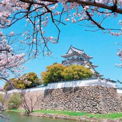 桜とお城/旅 岸和田城と桜