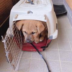 仲間入り/ペット/犬 今日から家の仲間入り😍 お散歩は、まだ歩…