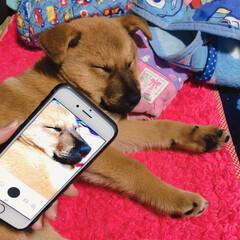 洗濯物/ペット/犬 洗濯物を畳むのじゃまして寝てしまったムク…