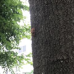 暑い/8月/虫/セミの抜け殻/セミ/夏休み/... セミの抜け殻発見!夏ですね〜✨今日も相方…
