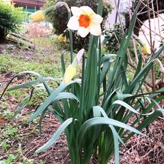 春/小さい春 お庭の水仙も、陽気に咲きだして見ていると…(1枚目)