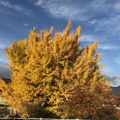 風景 ここまで、銀杏の木が一本でここまで主張し…