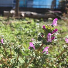小さい春 春の七草、ホトケノザも毎年お庭に春を感じ…