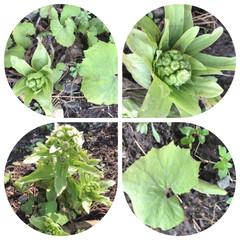 小さい春 お庭のフキノトウは、少しずつ成長を見せて…