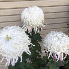 風景 帰りに、いつも菊のお花を大切に育てている…