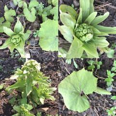 小さい春 お庭のフキノトウは、少しずつ成長を見せて…(2枚目)